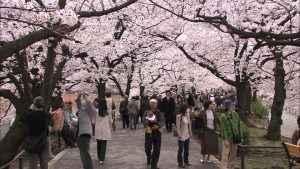 707204513-parque-ueno-sakura-cerezo-caminata
