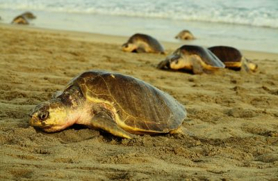 Tortugas golfinas acuden a desovar en playas de Oaxaca