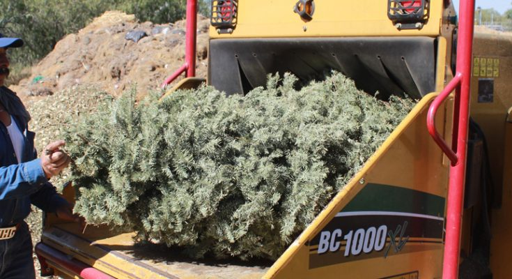 Instalan centros de acopio para árboles navideños