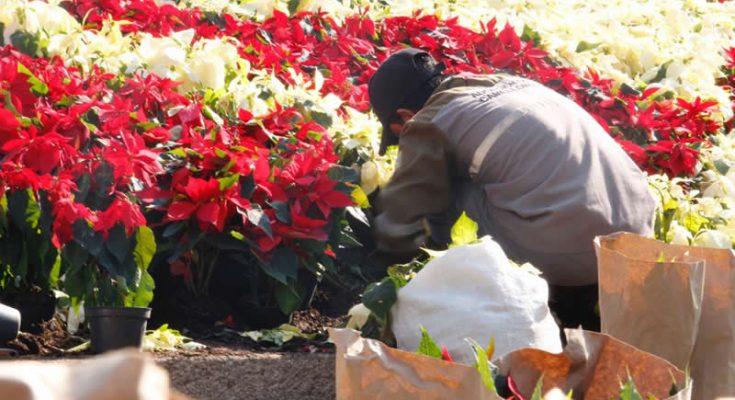 Nochebuena embellece Reforma para Navidad
